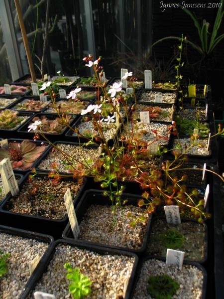 Drosera rupicola ( different colours )