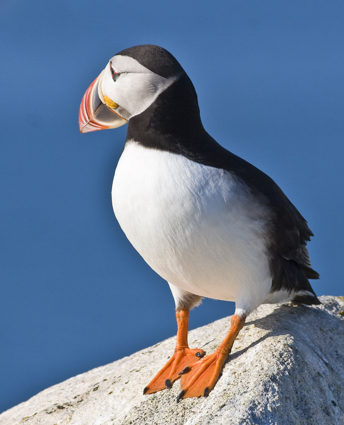 Puffin on the Rock 4259