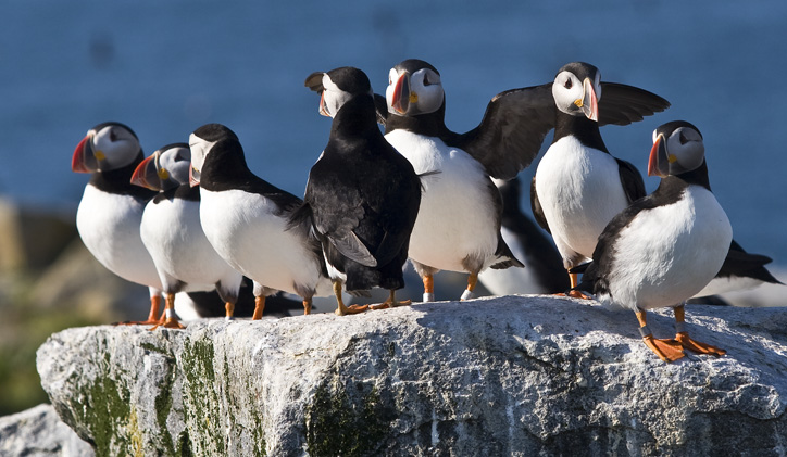 Puffin Meeting 4285