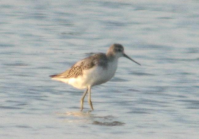 Marsh Sandpiper - Tringa stagnatilis - Archibebe Fino - Siseta