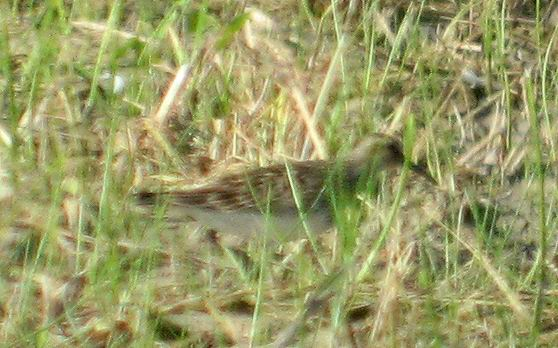 Pectoral Sandpiper - Calidris melanotos - Correlimos Pectoral - Territ Pectoral - Seen at Riet Vell rice fields - 26th July 2008