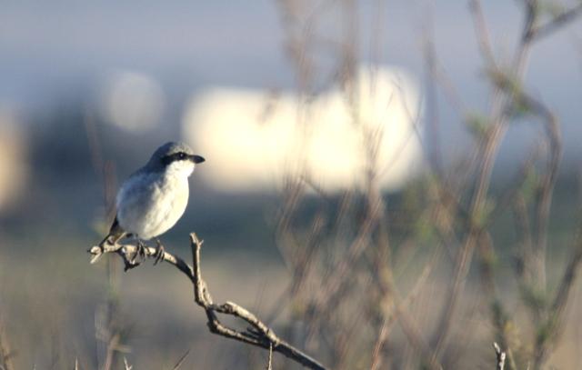 Southern Grey Shrike - Lanius meridionalis algeriensis