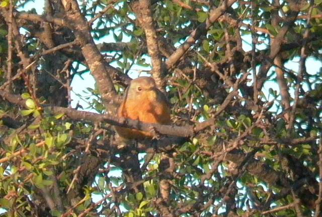 Female Moussiers Redstart - Phoenicurus moussieri - Colirojo diademado - Rougequeue de Mossier - Cotxa diademada