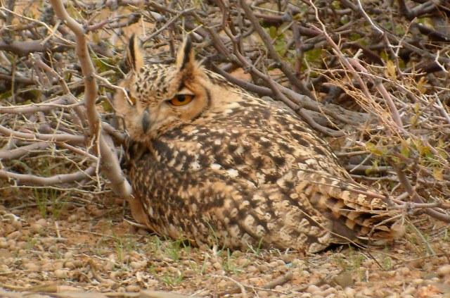 Desert Eagle Owl - Bubo (bubo) scalaphus - Buho Real del desierto - Duc del desert
