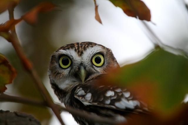 Little Owl - Athene noctua - Mochuelo - Mussol comú