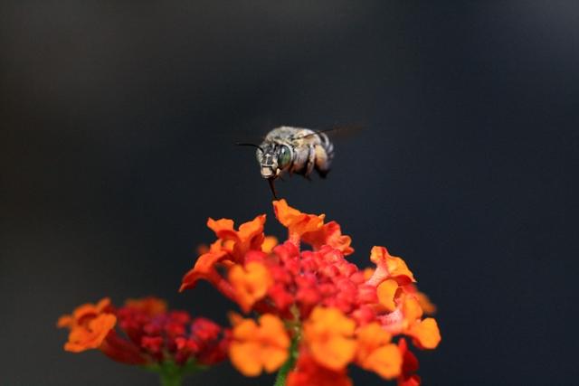mosca sobrevuela una lantana
