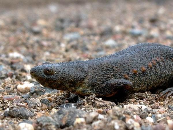 Sharp-ribbed Salamander - Pleurodeles waltl - Gallipato - Ofegabous
