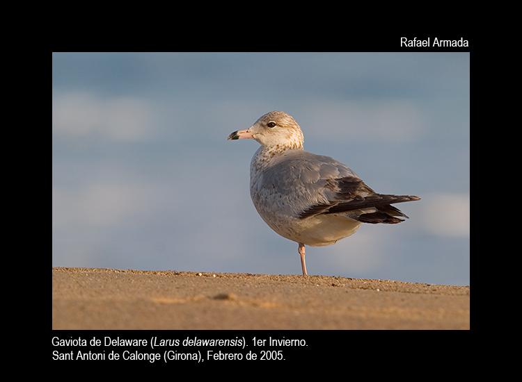 Ring-billed Gull - Larus delawarensis - Gaviota de Delaware - Gavina de Delawar