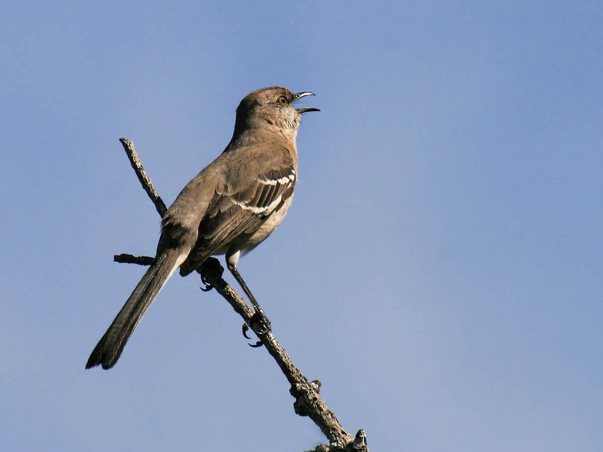 Backyard birds of... Fresno, California - Pacific NW Birder