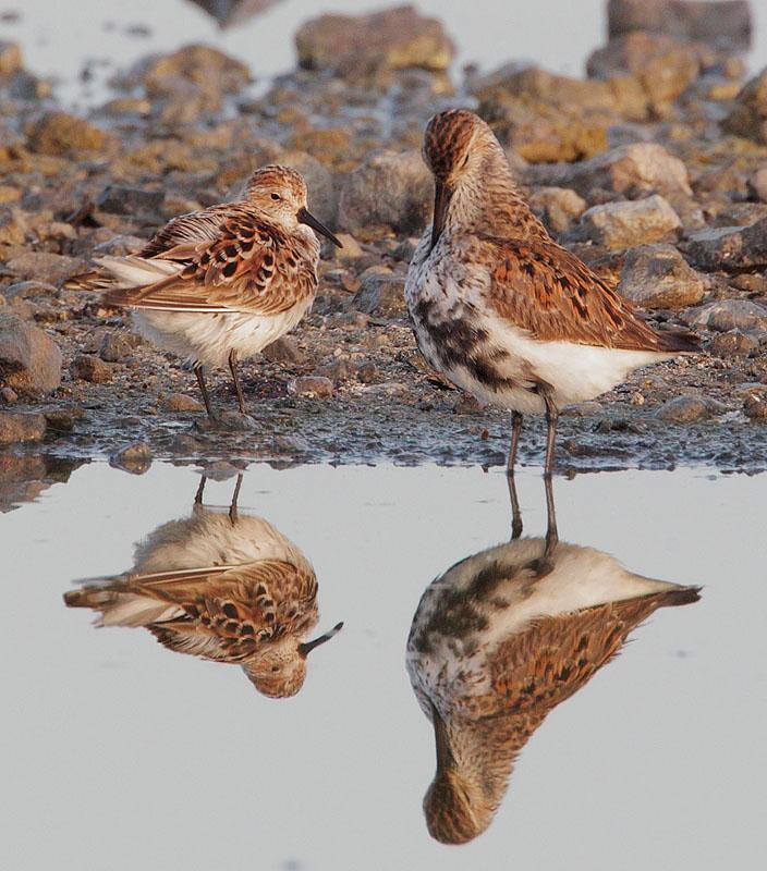 Western Sandpiper and Dunlin, breeding plumage
