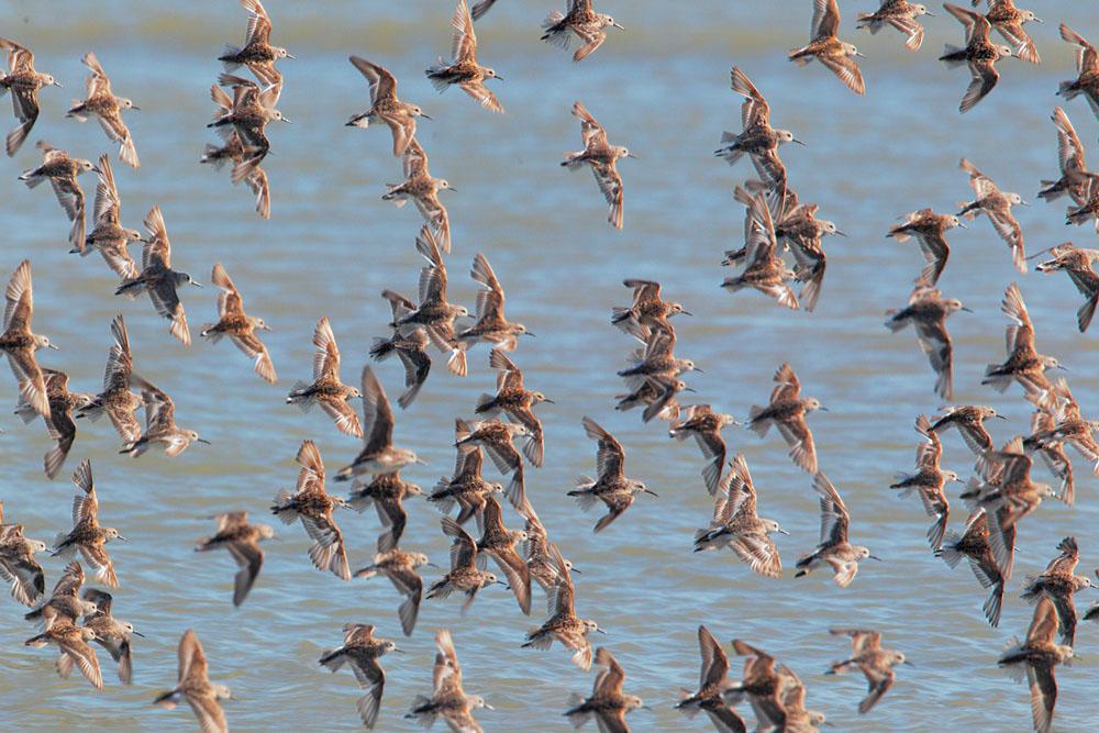 Western Sandpipers, flying flock
