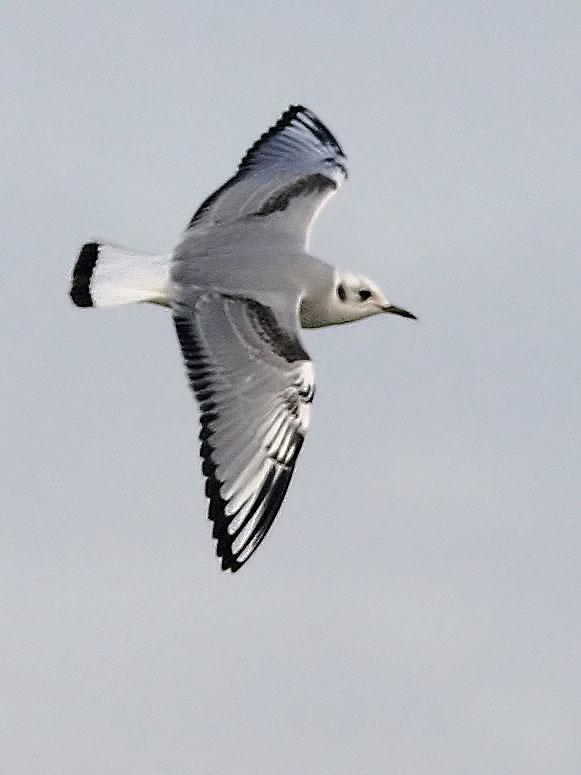 Bonapartes Gull, first winter