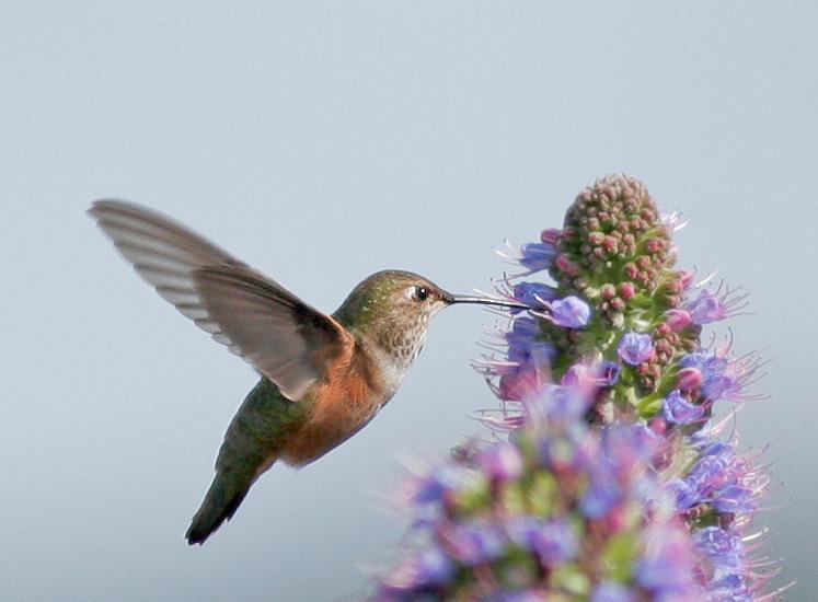 Rufous or Allens Hummingbird, female
