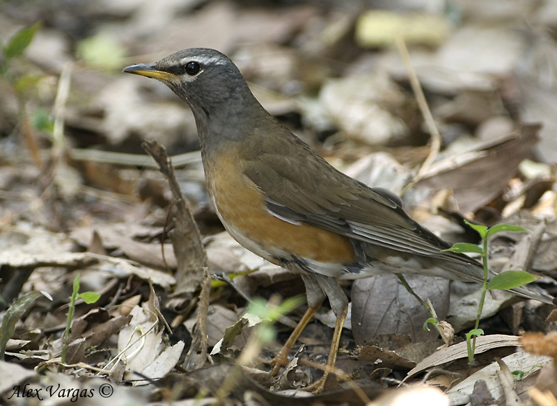 Eyebrowed Thrush - male -- sp 212