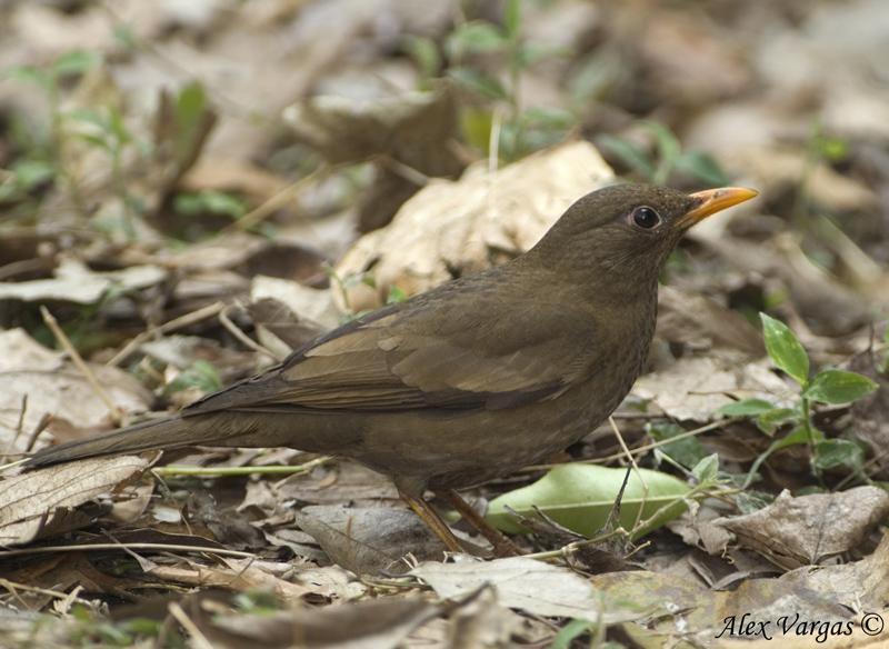 Grey-winged Blackbird - female -- sp 210