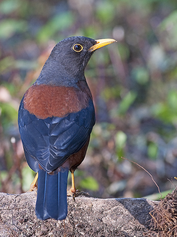 Chestnut Thrush - back view