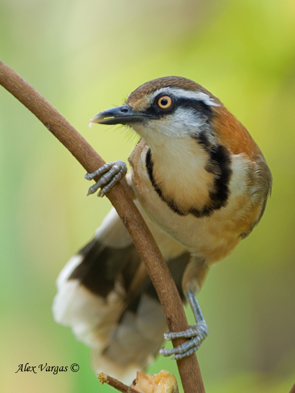 Lesser Necklaced Laughingthrush - 2010