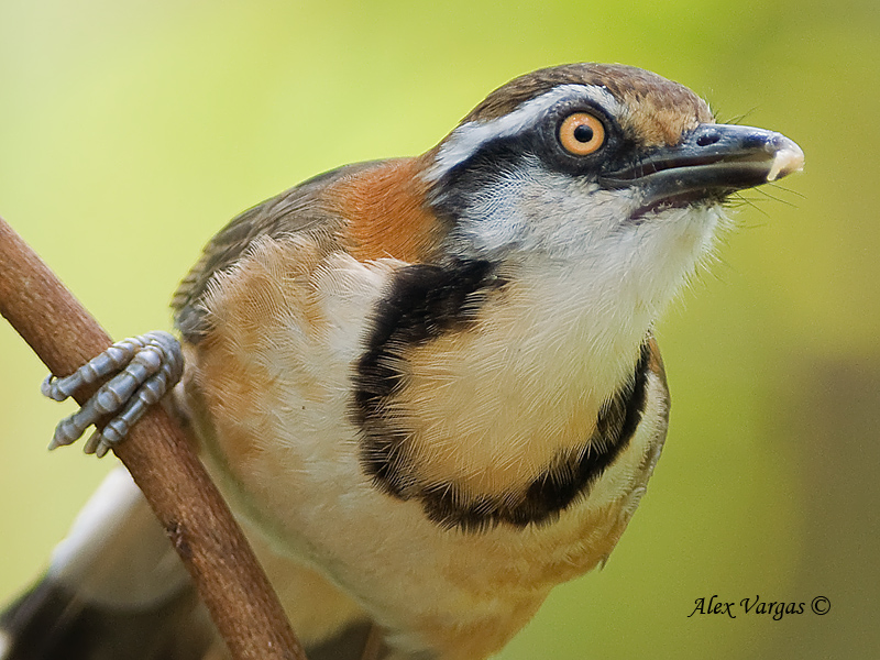 Lesser Necklaced Laughingthrush - 2010 - portrait.