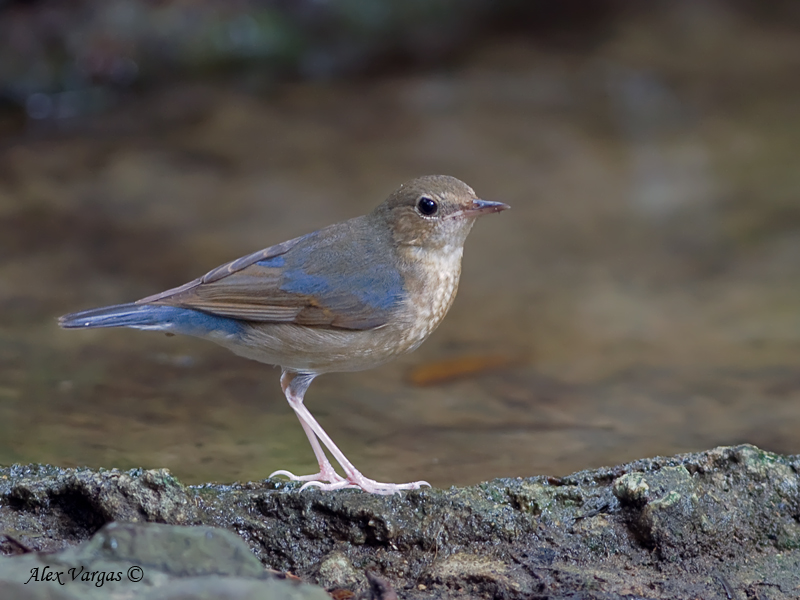 Siberian Blue-Robin - male - molting