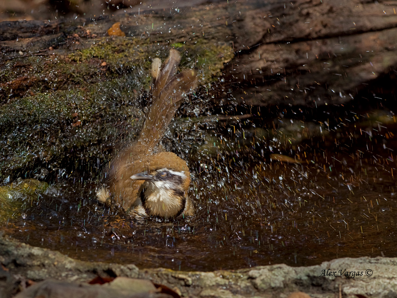 Lesser-necklaced Laughingthrush - 2011 -  bath time
