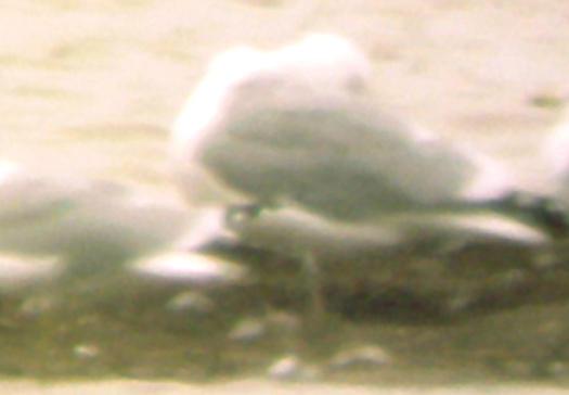 California Gull - 2-20-2010 - adult Tunica Co. MS