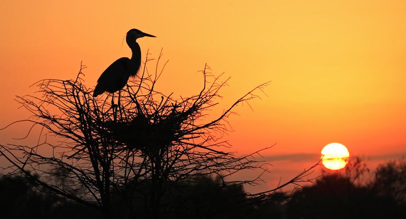 Great Blue Heron at nest (sunrise)