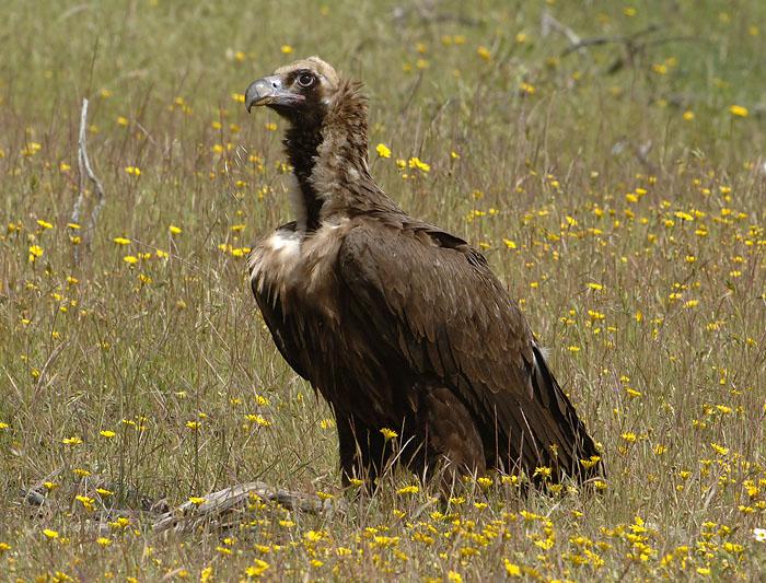 0345M-Cinerous vulture (Aegypius monachus), Spain Spring 2007