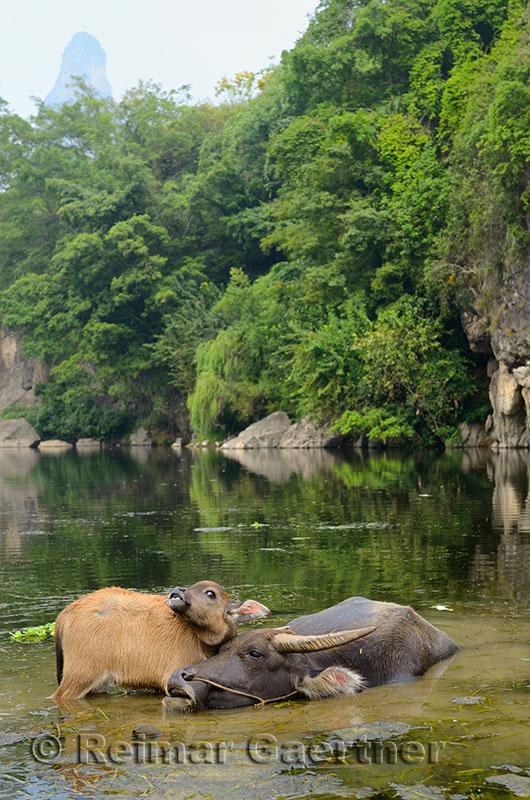 Young Asian water buffalo calf keeping an eye on mother in a pond of the Li river at Fuli near Yangshuo China