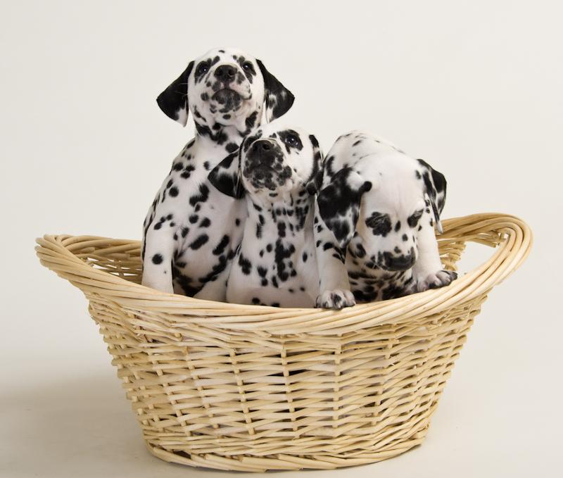puppies-8-wks.-14.jpg