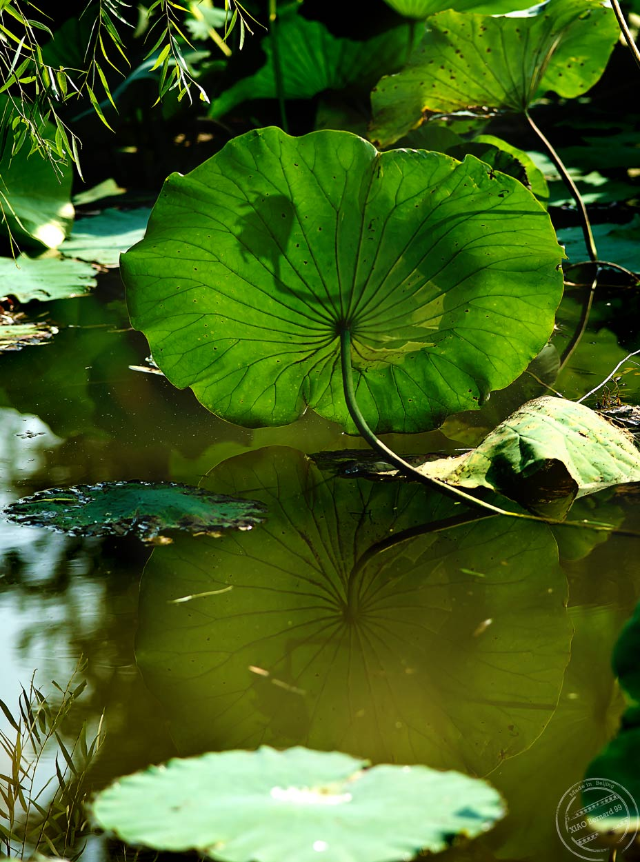 Ethnic Cultural Park.The Lotus Leaves