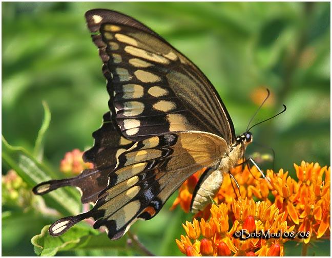 <h5><big>Giant Swallowtail<br></big><em>Papilio cresphontes</h5></em>