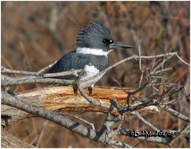 Belted Kingfisher-Male