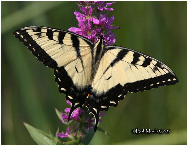 <h5><big>Eastern Tiger Swallowtail-Male<br></big><em>Papilio glaucus</h5></em><BR>