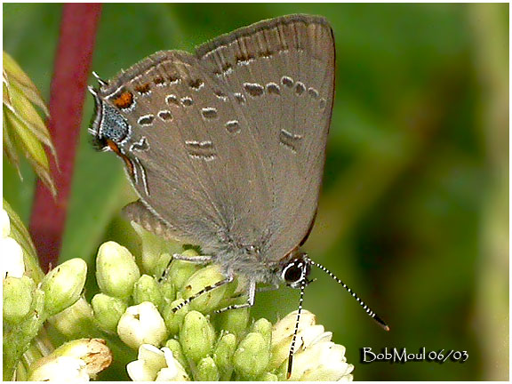 Edwards Hairstreak-N