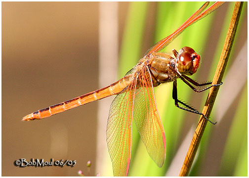 Golden-winged Skimmer-Male