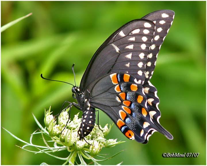 <h5><big>Black Swallowtail-Female<br></big><em>Papilio polyxenes</h5></em>