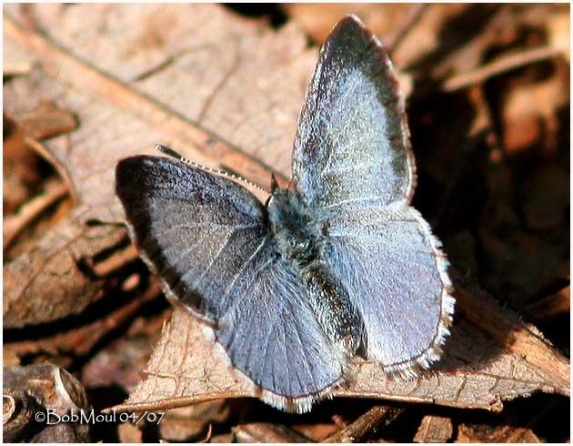 Spring Azure-Female