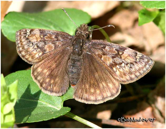 Juvenals Duskywing-Female