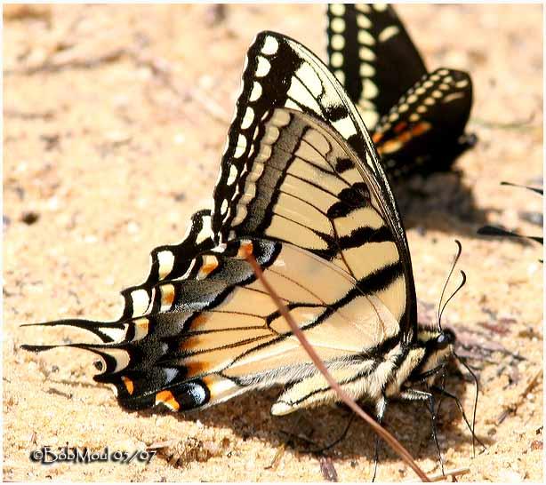 <h5><big>Appalachian Swallowtail<br></big><em>Pterourus appalachiensis</h5></em><BR>