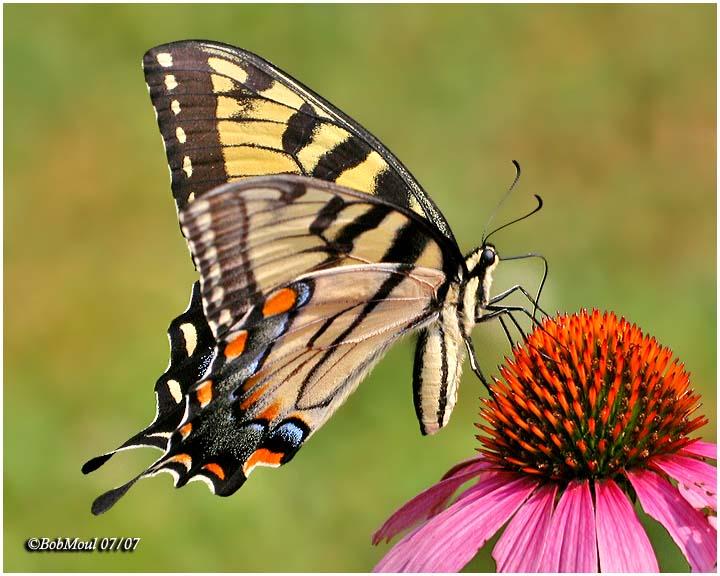 <h5><big>Eastern Tiger Swallowtail<br></big><em>Papilio glaucus</h5></em><BR>