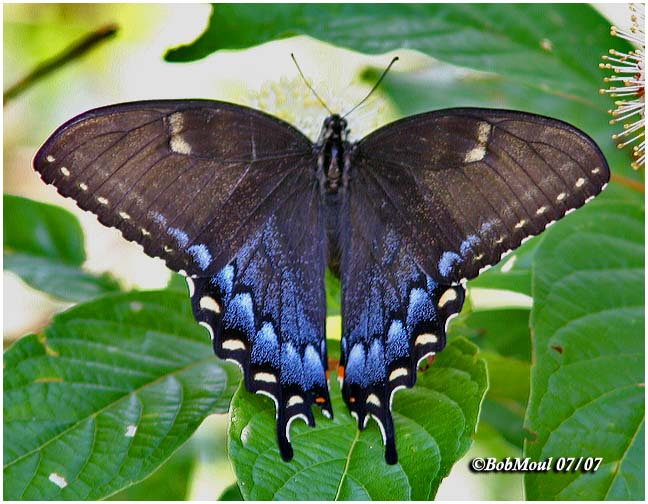 <h5><big>Eastern Tiger Swallowtail-Black Form, Always Female<br></big><em>Papilio glaucus</h5></em><BR>