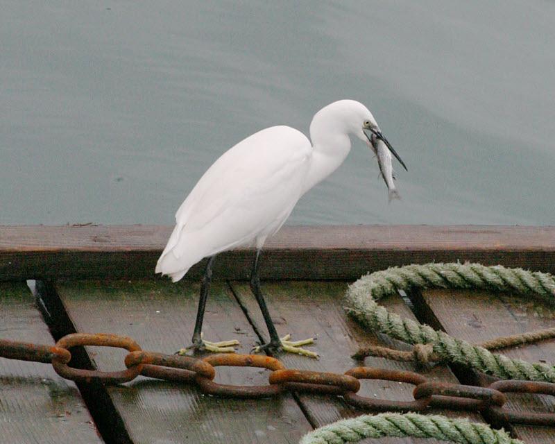 Pelicans & Egrets