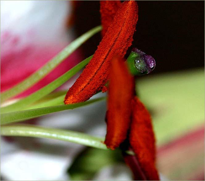 Tiger lily stamens