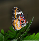 Exotic Butterfly Video