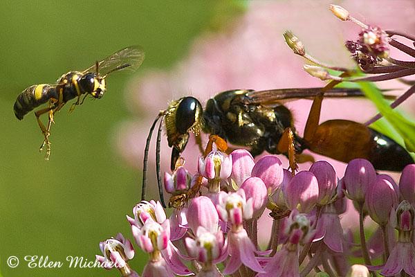 Great Golden Digger Wasp & Weevil Wasp