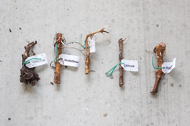 The rhizomes...