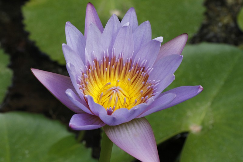 9.  Exotic waterlily.