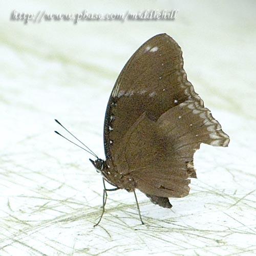 Butterfly - 060