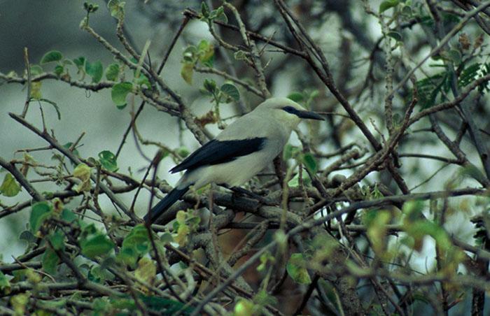 Stresemanns Bush-Crow  (Zavattariornis stresemanni)