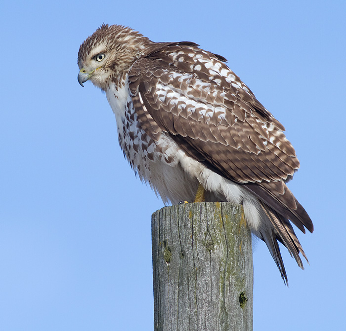 red-tailed hawk 298